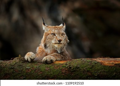 Lynx in green forest with tree trunk. Wildlife scene from nature. Playing Eurasian lynx, animal behaviour in habitat. Wild cat from Germany. Wild Bobcat between the trees.