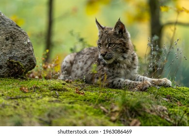 Lynx in green forest with tree trunk. Wildlife scene from nature. Playing Eurasian lynx, animal behaviour in habitat. Wild cat from Germany. Wild Bobcat between the trees