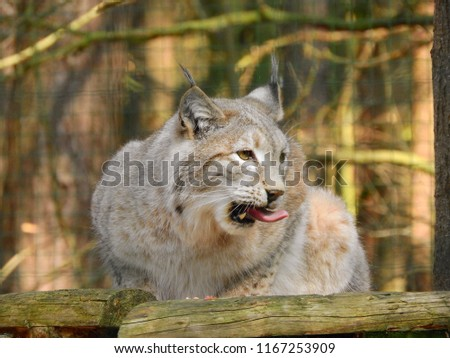 Lynx Having A Snack with his tongue stuck out