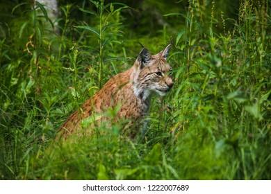Lynx in high grass