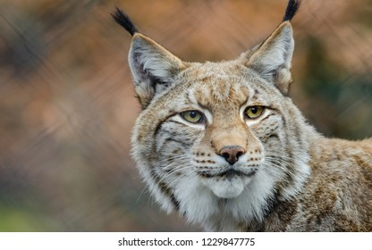 Lynx looks at the camera
