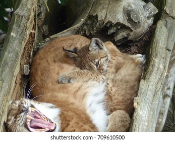 Lynx mum with a young animal