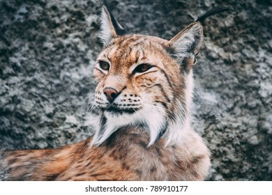lynx nature wild