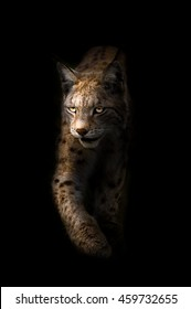 A lynx on black background walking with focused eyes