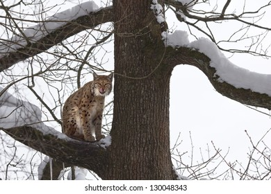 Lynx on a branch of a snowy tree, looks toward the camera and licks his whiskers.