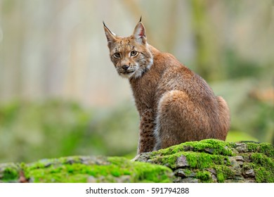 Lynx on the green mossy stone. Eurasian Lynx, wild cat sitting on the rock in the forest habitat. Wildlife scene from nature.