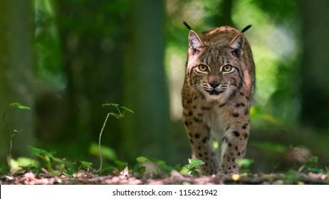 Lynx on silent paws