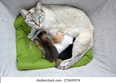 Lynx point Siamese  tabby Cat nursing litter of mulit-colored newborn kittens