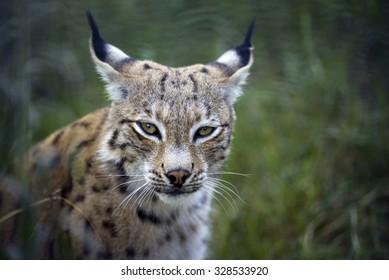 Lynx portrait in nature. Ears back.
