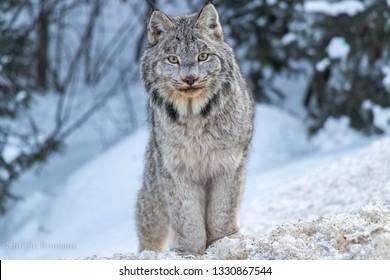 Lynx portrait in the snow