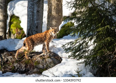 lynx prowling in the snowy winter forest - National Park Bavarian Forest - Germany