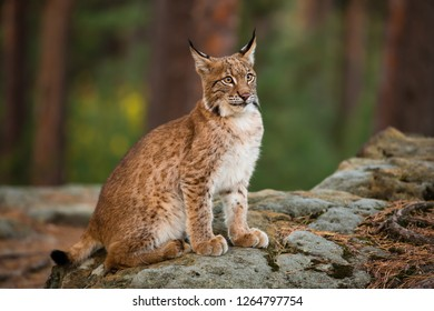 Lynx sitting in the autumn forest