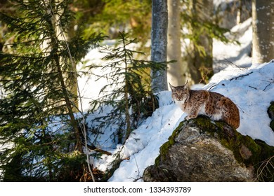 lynx sitting on a mossy stone in winter - National Park Bavarian Forest - Germany