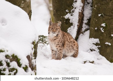 Lynx sitting on the snow in the forest
