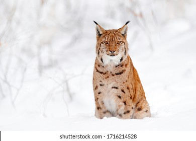 Lynx sitting, wild cat in the forest with snow. Wildlife scene from winter nature. Cute big cat in habitat, cold condition.  Snowy forest with beautiful animal wild lynx, France.