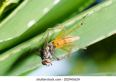 A lynx spider has caught a fly and is eating it.
