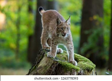 Lynx standing on a stump in autumn forest