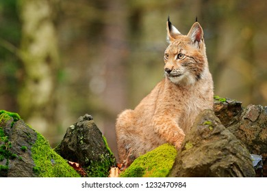 Lynx in stone rock. Walking Eurasian wild cat on green mossy stone, green trees in background. Wild cat in nature habitat, Czech, Europe. Wildlife scene from nature. Beautiful fur coat animal.