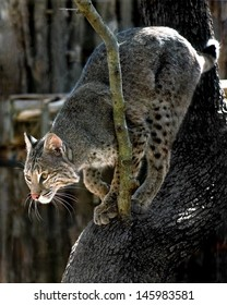 A lynx in a tree in a zoo.