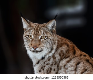 Lynx turned and looks into his eyes
