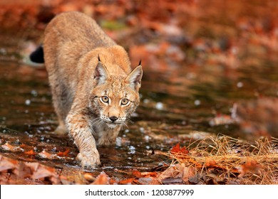 Lynx walking in orange leaves with water. Wild animal hidden in nature habitat, Germany. Wildlife scene from forest. Lynx in autumn vegetation in the wood. Beautiful wild cat, face portrait.