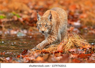Lynx walking in the orange leaves with water. Wild animal hidden in nature habitat, Germany. Wildlife scene from forest. Lynx in autumn vegetation in the wood. Beautiful wild cat, face portrait.