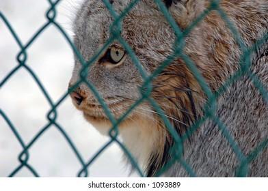 A lynx at the Wildife Centre, Ontario Canada