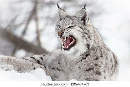 Lynx in the winter forest