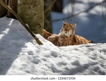 lynx in winter lying lazy under a tree in the snow - National Park Bavarian Forest - Germany