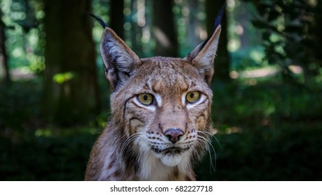 Lynx woods Germany