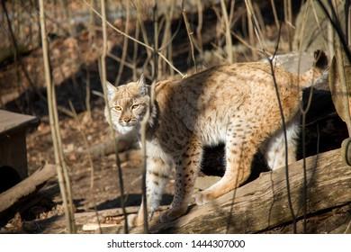 Lynx in the zoo. Lynx Lynx.