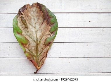 A lyre-shaped dry ficus leaf, damaged by disease, lies on a white wooden background