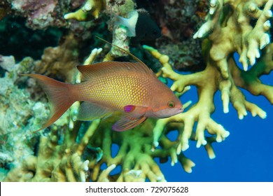 Lyretail Anthias (female) on a coral reef