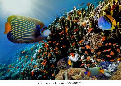Lyretail Anthias fish on a coral reef. Red Sea.