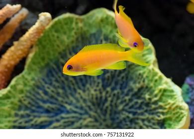 Lyretail anthias marine fish