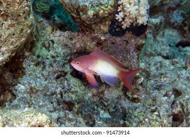 Lyretail anthias in the Red Sea