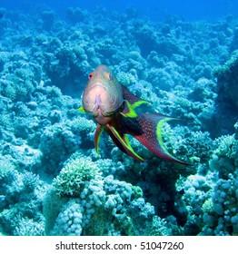 Lyretail grouper (Variola louti).