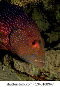 Lyretail grouper. (Variola louti)Taking in Red Sea, Egypt.