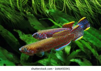 Lyretail Killifish, aphyosemion australe, Adults