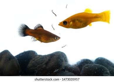 Lyretail molly Poecilia latipinna aquarium fish swimming to eat mosquito larvae