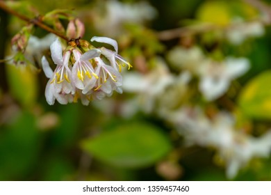 Lyric macro of blooming flower winter honeysuckle Lonicera fragrantissima (standishii), or January jasmine, Chinese honeysuckle. A flower on the beautiful natural bokeh background. Selective focus.