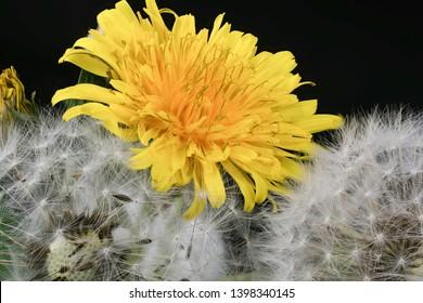 Dandelion Stages Images, Stock Photos & Vectors | Shutterstock