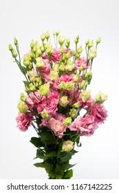 Lysianthus russellianum Botanic Pink