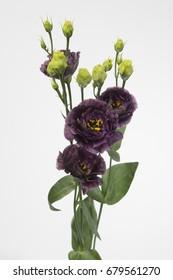 Lysianthus russellianum gevuldbloemig Rosanne Black Pearl