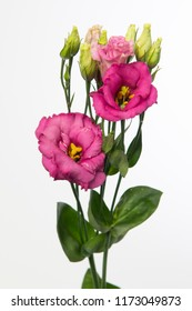 Lysianthus russellianum Savanne So Pink