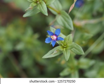 Lysimachia arvensis subsp. parviflora, the Scarlet pimpernel also known as the blue-scarlet pimpernel (lowers can be either blue or red), also the red chickweed or the poorman's barometer.