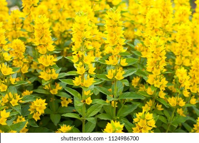 Yellow Flower Leaves Loosestrife Images, Stock Photos