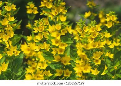 Lysimachia punctata Plant