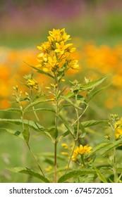 Lysimachia vulgaris. Yellow Loosestrife - Shutterstock ID 674572051