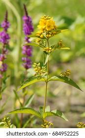 Lysimachia vulgaris. Yellow Loosestrife - Shutterstock ID 684952225